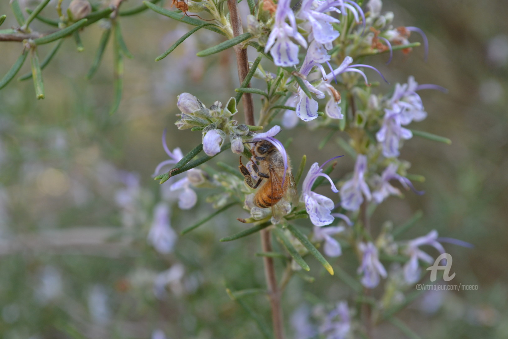 Mariska Ma Veepilaikaliyamma - Fleur et abeille Flower and bee