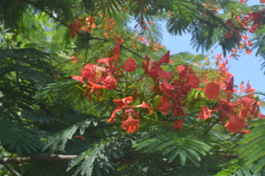 Visit Of A Beautiful And Powerful Flame Of The Forest Tree