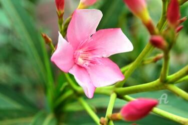 Oléandre Rose - Rose Oleander II