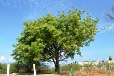 Mère de l'arbre Neem bien-aimée
